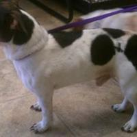 Jack Russell Terrier Mix Dog for adoption in Wichita, Kansas - jack