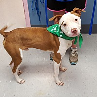 Pit Bull Terrier Mix Dog for adoption in Maryville, Illinois - Cain