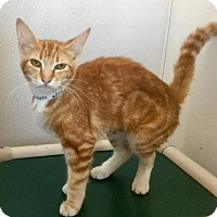 Domestic Shorthair Cat for adoption in Visalia, California - *BOOTS