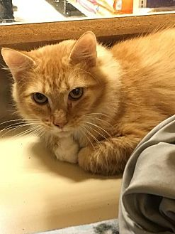 Domestic Mediumhair Cat for adoption in Spring, Texas - Bolt