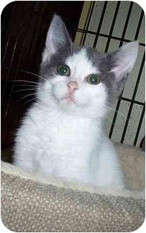 Domestic Shorthair Kitten for adoption in Randolph, New Jersey - Hope