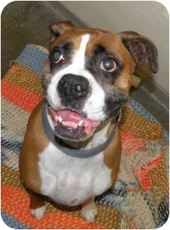 Boxer Dog for adoption in Fort Bragg, California - Ana