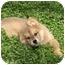 Photo 4 - Golden Retriever/Australian Shepherd Mix Puppy for adoption in Houston, Texas - Annie