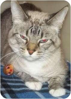Siamese Cat for adoption in Charles City, Iowa - Savannah