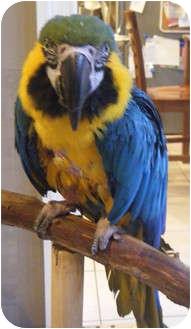 Macaw for adoption in Mantua, Ohio - JAY JAY