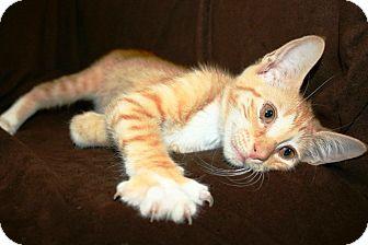Domestic Shorthair Kitten for adoption in Plainfield, Connecticut - Sunkist