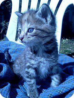 Domestic Shorthair Kitten for adoption in Columbus, Ohio - Tabitha Bottle Baby