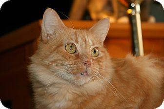 Domestic Mediumhair Cat for adoption in Arlington, Virginia - Sunny (dog friendly)