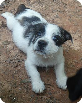 Boston Terrier/Jack Russell Terrier Mix Puppy for adoption in Buford, Georgia - Kenny