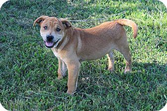 Labrador Retriever/Boxer Mix Puppy for adoption in East Hartford, Connecticut - Lucas meet me 5/16