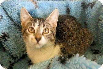 Domestic Shorthair Kitten for adoption in Buena Vista, Colorado - Lefty