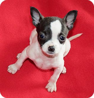 Chihuahua/Terrier (Unknown Type, Small) Mix Puppy for adoption in Salem, New Hampshire - PUPPY ERICA