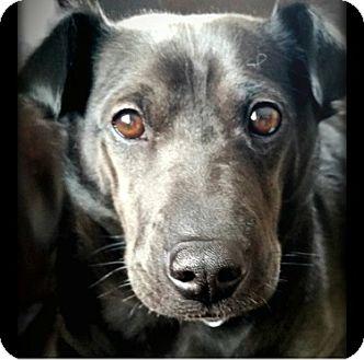 Labrador Retriever/Shar Pei Mix Dog for adoption in Cincinnati, Ohio - Dixie (Shar Pei)