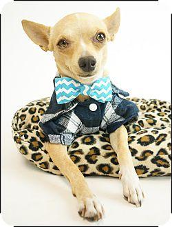 Chihuahua/Miniature Pinscher Mix Dog for adoption in Phoenix, Arizona - Linus
