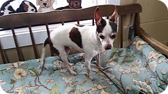 Rat Terrier/Chihuahua Mix Dog for adoption in Lewisburg, Tennessee - Finnegan