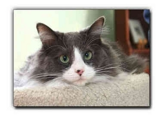 Domestic Longhair Cat for adoption in Howell, Michigan - Jackson