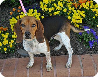 Beagle Dog for adoption in Atlanta, Georgia - Blue