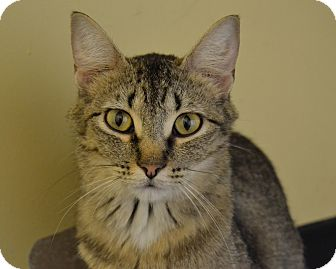 Domestic Shorthair Cat for adoption in Larned, Kansas - Sophie