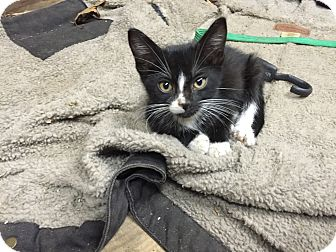 Domestic Shorthair Kitten for adoption in Middlebury, Connecticut - Shadow