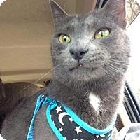 Russian Blue Cat for adoption in Livonia, Michigan - Grayson