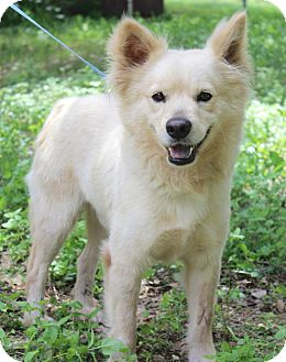 American Eskimo Dog/Schipperke Mix Dog for adoption in Plymouth Meeting, Pennsylvania - MURPHY