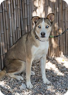 Siberian Husky/Hound (Unknown Type) Mix Dog for adoption in Cedar Crest, New Mexico - Kodi