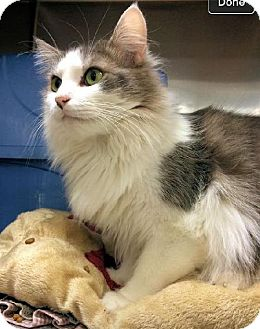 Maine Coon Cat for adoption in Buford, Georgia - Remmy
