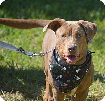 Labrador Retriever/Basset Hound Mix Dog for adoption in San Leon, Texas - Mocha