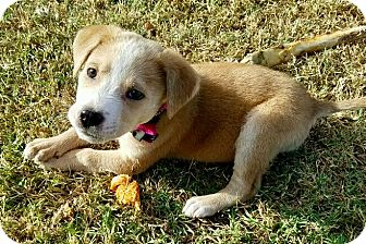 Labrador Retriever/Terrier (Unknown Type, Medium) Mix Puppy for adoption in East Windsor, Connecticut - Lottie