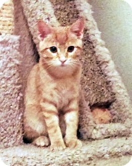 Domestic Shorthair Kitten for adoption in Arlington/Ft Worth, Texas - Biscuit