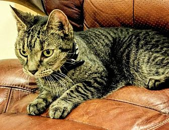 Domestic Shorthair Cat for adoption in Brooklyn, New York - Yana, wonderful kitty needs new or temp BFF!
