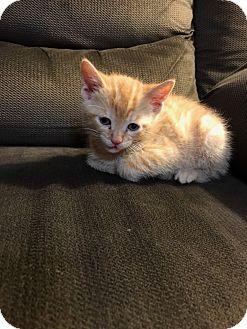 Domestic Shorthair Kitten for adoption in Media, Pennsylvania - Charlie
