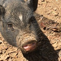 Pig (Potbellied) for adoption in Asheville, North Carolina - Dill