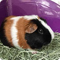 Adopt A Pet :: *Urgent* Brandi - Fullerton, CA