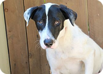 Border Collie/Shepherd (Unknown Type) Mix Dog for adoption in Los Angeles, California - Lincoln