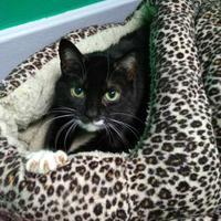 Adopt A Pet :: Saya - Oak Park, IL