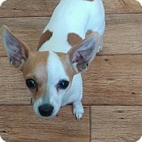 Adopt A Pet :: Velvetina - Overland Park, KS