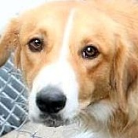 Adopt A Pet :: ABBY(OUR GOLDEN GIRL-SO LOVING - Wakefield, RI