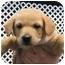 Photo 1 - Labrador Retriever Mix Puppy for adoption in Cumming, Georgia - July