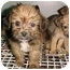 Photo 2 - Terrier (Unknown Type, Medium) Mix Puppy for adoption in North Judson, Indiana - 4 Terrier Mix Pups