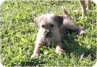 Wirehaired Fox Terrier/Chihuahua Mix Puppy for adoption in Spring Valley, New York - Tamale