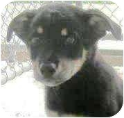 German Shepherd Dog/Golden Retriever Mix Puppy for adoption in Oswego, Illinois - I'M ADOPTED Tiny Dancer Allen