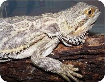 Lizard for adoption in Richmond, British Columbia - Rosie