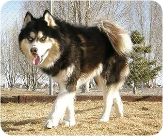 Alaskan Malamute Dog for adoption in Meridian, Idaho - James Madison