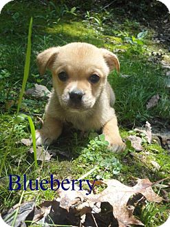 Pug/Border Collie Mix Puppy for adoption in Spruce Pine, North Carolina - Blueberry