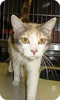 Domestic Shorthair Cat for adoption in Beacon, New York - Cleo Urgent (Red. to $65)