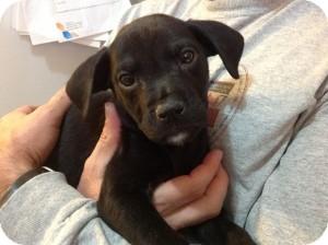 Labrador Retriever Mix Puppy for adoption in Marlton, New Jersey - Baby Sara