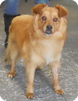 Pomeranian/Sheltie, Shetland Sheepdog Mix Dog for adoption in Belvidere, Illinois - HD * FOSTER NEEDED*