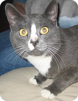 Domestic Shorthair Cat for adoption in Chandler, Arizona - Rocky