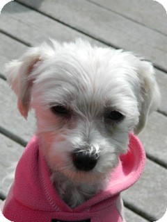 Maltese Dog for adoption in Vancouver, Washington - Pippen